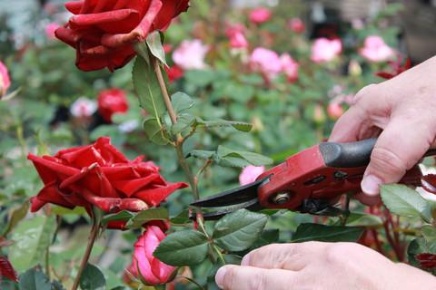 Curare orto e giardino a febbraio barbanera dal 1762 for Potare le rose